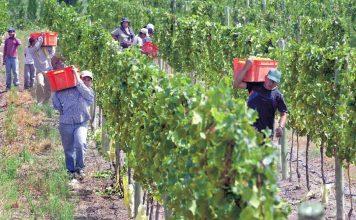 viñateros, vino, uva