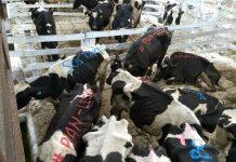 vacas, protesta