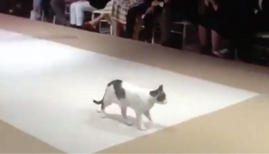 gato modelo