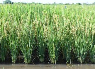 arroz, agua