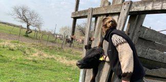 inspeccion, vaca