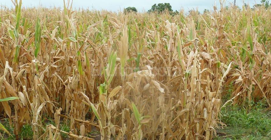 trigo, sequia