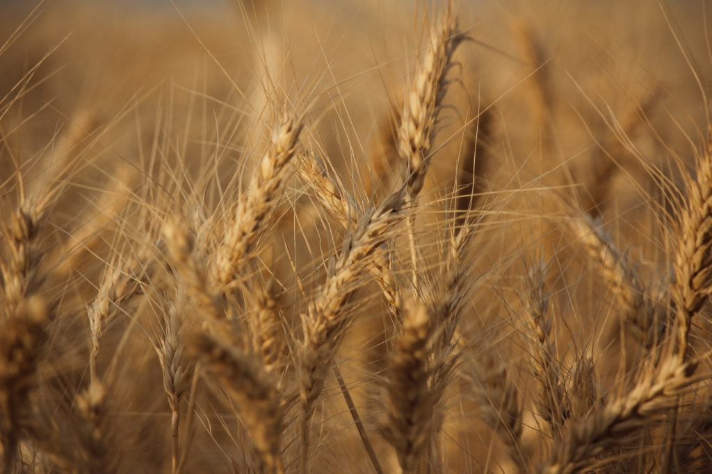 campaña, trigo